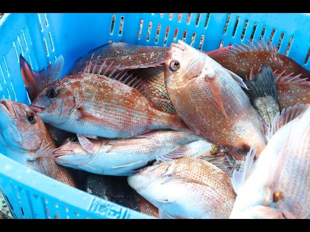 瀬戸内の伝統漁法「ごち網(鯛網)」漁師体験