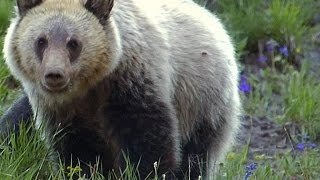 Grizzly Bear - Nutrition After Hibernation