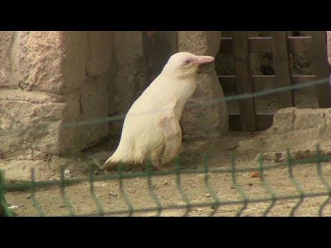 Danzig/Polen: Albino-Pinguin erkundet Danziger Zoo -  ...