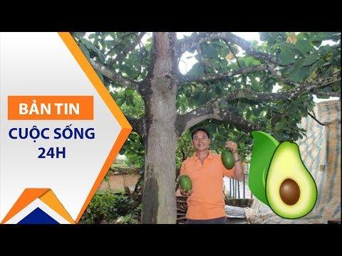 Lâm Đồng: Nông dân thu tiền tỷ nhờ bơ khủng | VTC1 - Thời lượng: 2 phút, 23 giây.