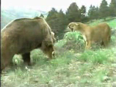 Puma vs Oso (por defender a su cría)