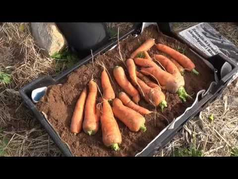 Lagra morötter i torv