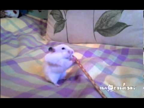 This hamster has amazing storage capability!