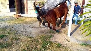 Cruza de español con yegua cuarto de milla