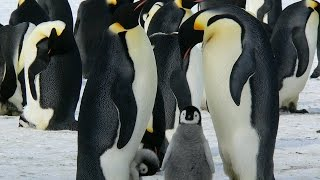 Amazing and Most Beautiful Emperor Penguins of Antarctica