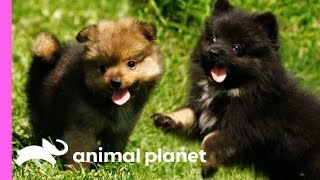 Pomeranian Puppies Meet Some Feathered Friends On Their Farm | Too Cute! by Animal Planet