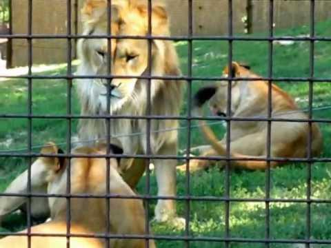 Oroszlánok – veszprémi állatkert