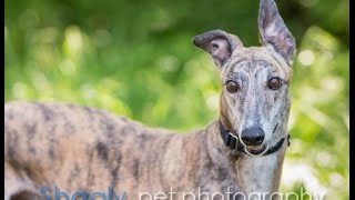Gezabel - Greyhound (short coat) Dog For Adoption