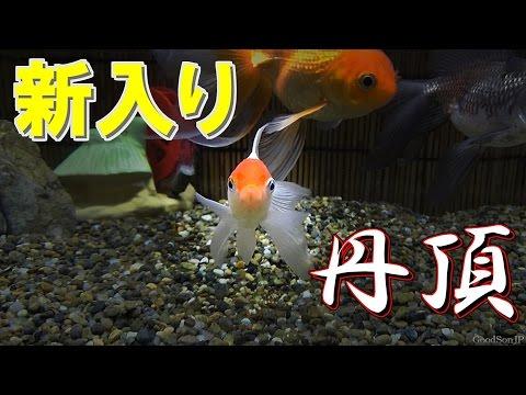 新・金魚水槽 ⑤丹頂 【アクアリウム】