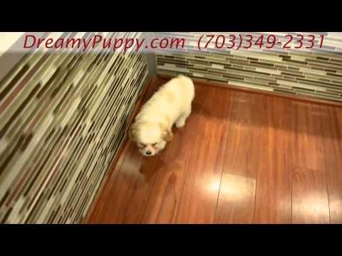 Adorable Cavachon Boy Puppy!