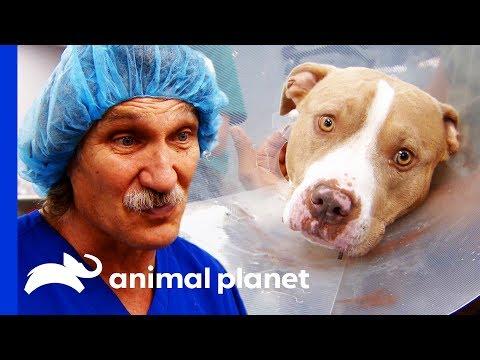 Vet Team Work Hard To Save Dog Bitten By Rattlesnake | Dr. Jeff: Rocky Mountain Vet