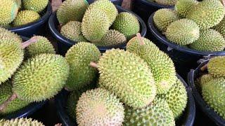 Video 彭亨勞勿闻名盛产榴莲 Raub, Pahang: The Land of Durians MP3, 3GP, MP4, WEBM, AVI, FLV Oktober 2018