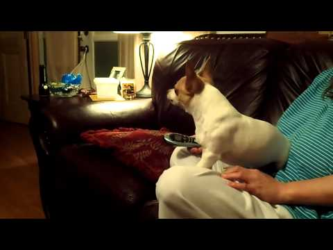 My Chihuahua Harley howling at wolves on TV