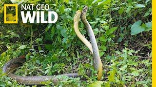 Watch an Elaborate Rat Snake Dance-Off | Nat Geo Wild by Nat Geo WILD