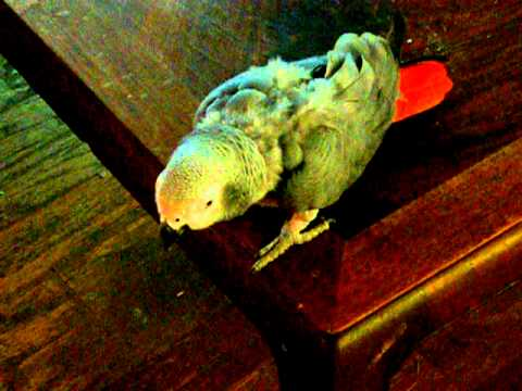 Rockaway The African Gray Parrot Thinks He's A Cat
