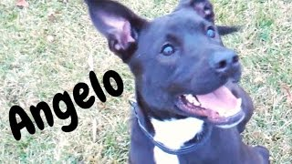 Angelo - Black Labrador Retriever / Border Collie / Mixed (short coat) Dog For Adoption