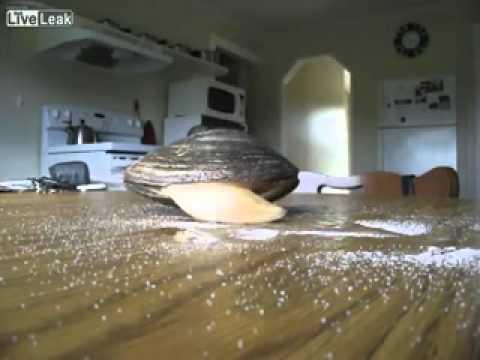 Como reacciona una almeja en una mesa llena de sal