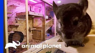Family Of 7 Chinchillas Get An Incredible New Basement Enclosure   Animal Cribs by Animal Planet