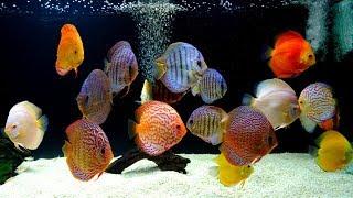 Jack Wattley Discus Hatchery Tour! by Aquarium Co-Op