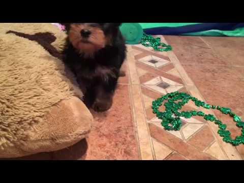 Eenie-yorkie male puppy