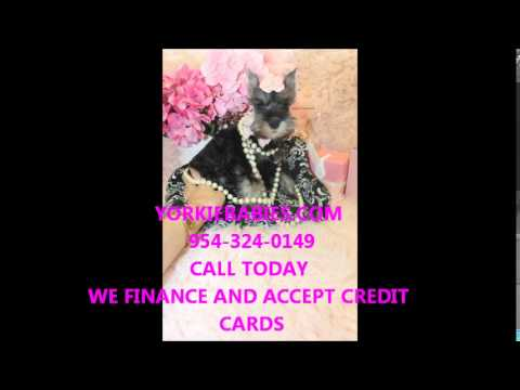 YORKIEBABIES.COM MINI SCHNAUZER PUPPIES FOR SALE 954-.324-0149