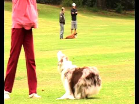 Funny Dog Video – Australian Shepherd Plays Football aka Soccer