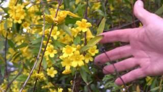 http://www.tytyga.com/Carolina-Jasmine-p/carolina-jasmine... The bright golden flowering vines on the roadside in early spring...