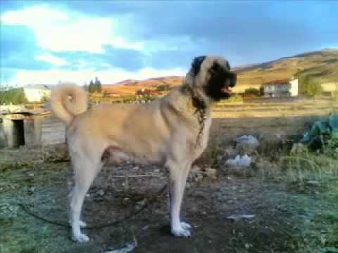 Turkish sheperd dog - KANGAL IS A TURKISH DOG (This is Scientific Source, Read) Kangal dogs, The Akbash Dog, Anatolian Shepherd Country of origin: Turkey Blackhead (Anadolulu Kara...