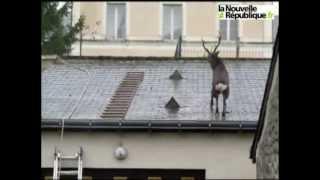 Олень, который взобрался на крышу