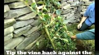 Tips on how to plant vines. Your complete guide and step by step instruction on planting ground cover vines.Climbing Vines are beautiful in any garden.