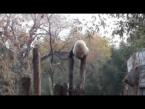 panda-climbs-onto-tree-trunk