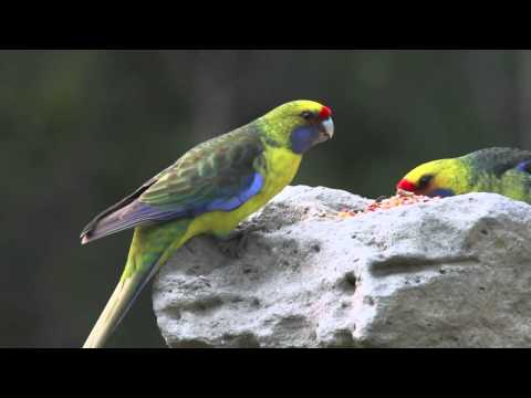 Green Rosella (Mountain Parrot)
