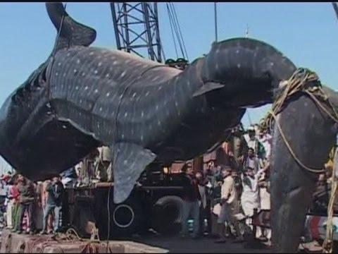 العثور على قرش الحوت بطول 12 مترا