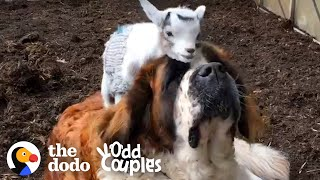 This Giant Mastiff Learns To Love Her Annoying Little Goat Brother | The Dodo Odd Couples by The Dodo