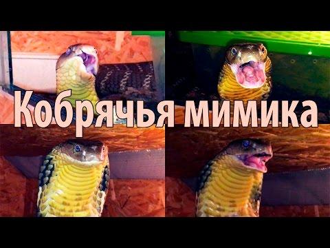 Королевская кобра и её удивительная мимика