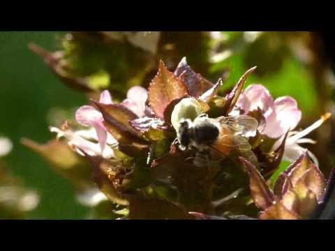 Bees Hd