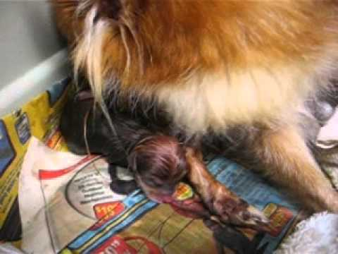 October Gold Chihuahua Giving birth,  Ruby and Hollywoods firstborn girl July16th2012.AVI