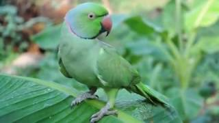Malayalam talking Parrot....... its more than 30 year old