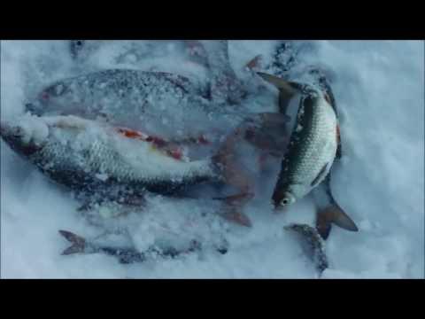 Рыбалка в калининградском куршский залив