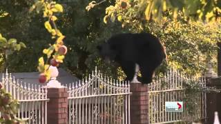 Video Bear runs loose in the city MP3, 3GP, MP4, WEBM, AVI, FLV Agustus 2017