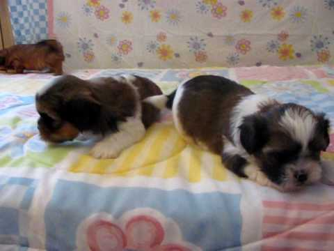 shorkie puppies bred by shorkie world