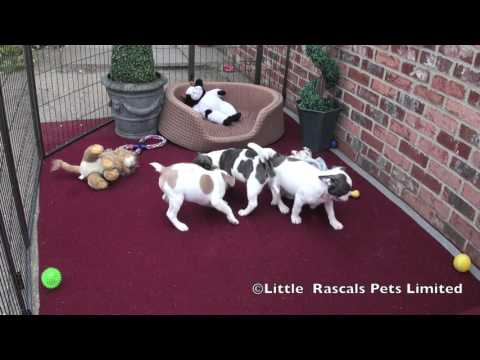 French Bulldog For Sale in Lincoln