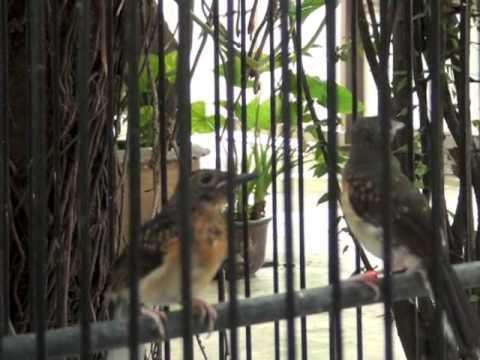 นกกางเขนดง - เยี่ยมชมการเพาะพันธุ์นกบินหลา บ้านพี่ต่าย รองประธานชมรมรักษ์บินหลา(ประเทศไทย)