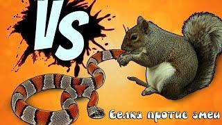 5 Сумасшедших битв животных снятых на камеру — Белка против змеи