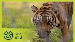 Video Sumatras Last Tigers - The Secrets of Nature MP3, 3GP, MP4, WEBM, AVI, FLV Juni 2019