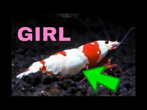 How To Sex Crystal Red Shrimp - Cherry Shrimp ect [Illustrated] 🦐 (видео)