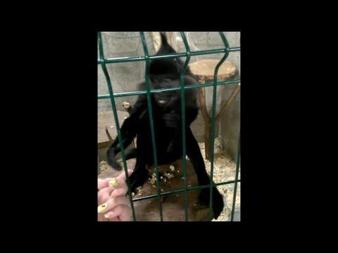 Affe stiehlt Handy