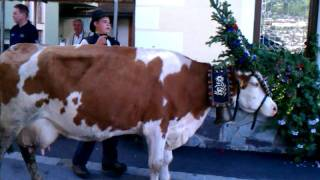 Hippach Austria  city pictures gallery : Almabtrieb cow in Hippach, Austria wants to be an individual September 24, 2011