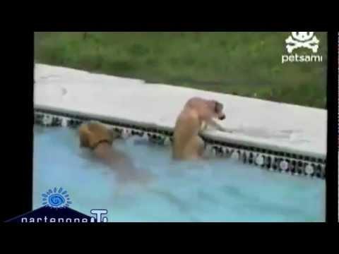 cane da salvataggio si butta un piscina per soccorrere il suo cucciolo!