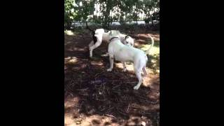 Madison - American Bulldog / Mixed (short coat) Dog For Adoption